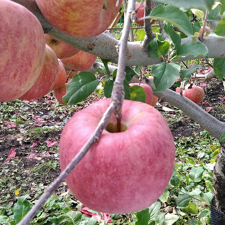 [青森]弘前市 ほほえみりんご農園 樹上完熟リンゴMix 2L~3L  3kgの商品画像 (3)