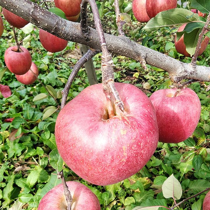 [青森]弘前市 ほほえみりんご農園 樹上完熟リンゴMix 2L~3L  3kgの商品画像 (4)